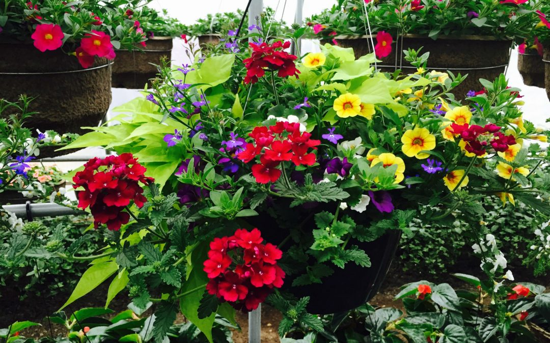 Still Time to Get Flowers For Mom at Costa's Greenhouse